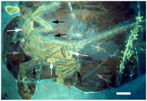 "A specimen of Microraptor gui under UV light. The white arrows point to preserved tissue, the black arrows point to a ""halo"" around the body where feathers are not present, and the grey arrows point to preserved feathers. From the PLoS One paper."
