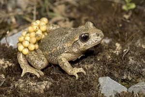 A male midwife toad carries fertilized eggs on his legs.  (© blickwinkel / Alamy)