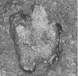 The track of a small theropod dinosaur, known as Minisauripus. From the Journal of Cretaceous Research.
