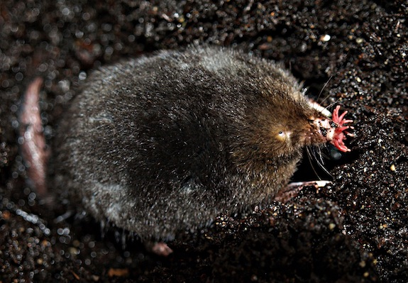 How the Star-Nosed Mole 'Sees' With Its Ultra-Sensitive ...
