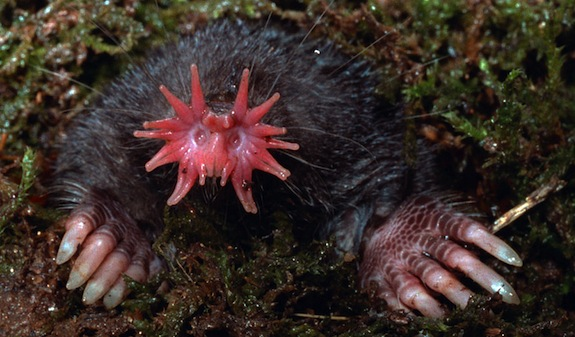 Image result for Star nosed mole