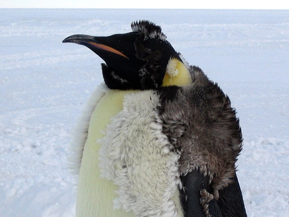 Do penguins have feathers - photo#26