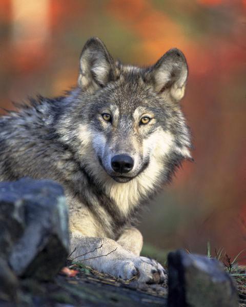 monogamous_wolf_02.jpg