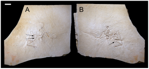 The Munich specimen of Archaeopteryx which was sampled in this study. From the PLoS One paper.