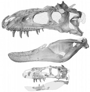 Restorations of the skulls of adult (top) and juvenile (bottom) Bistahieversor. From the Journal of Vertebrate Paleontology paper.