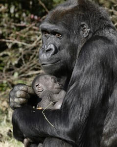 Lowland Gorilla Mother and Child by Mehgan Murphy, Smithsonian's National Zoo