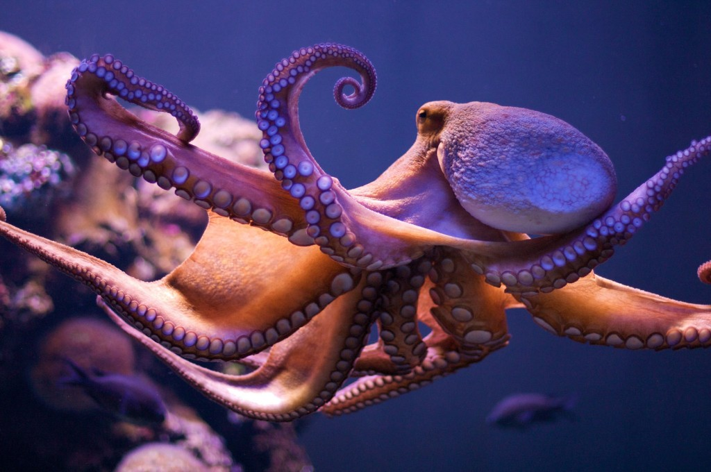 Severed Octopus Arms Have a Mind of Their Own | Smart News ...