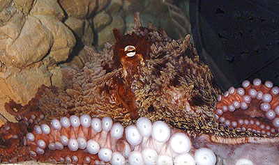 This Giant Pacific Octopus needs a name, and the National Zoo wants your help. Photo by Mehgan Murphy.