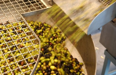 Olives on the way to pressing, courtesy California Olive Oil Council