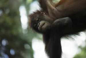 A Bornean orangutan. Courtesy of Flickr user Graham Racher