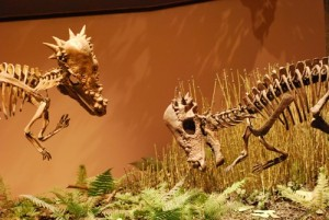 A pair of pachycephalosaurs face off. Photographed at the Museum of Ancient Life at Thanksgiving Point, Utah.
