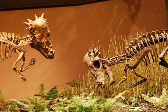 Fossil Testifies to Pachycephalosaur Pain   Science ... Pachycephalosaurus Head