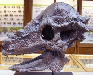 A cast of the skull of <i>Pachycephalosaurus</i>. From Wikipedia.
