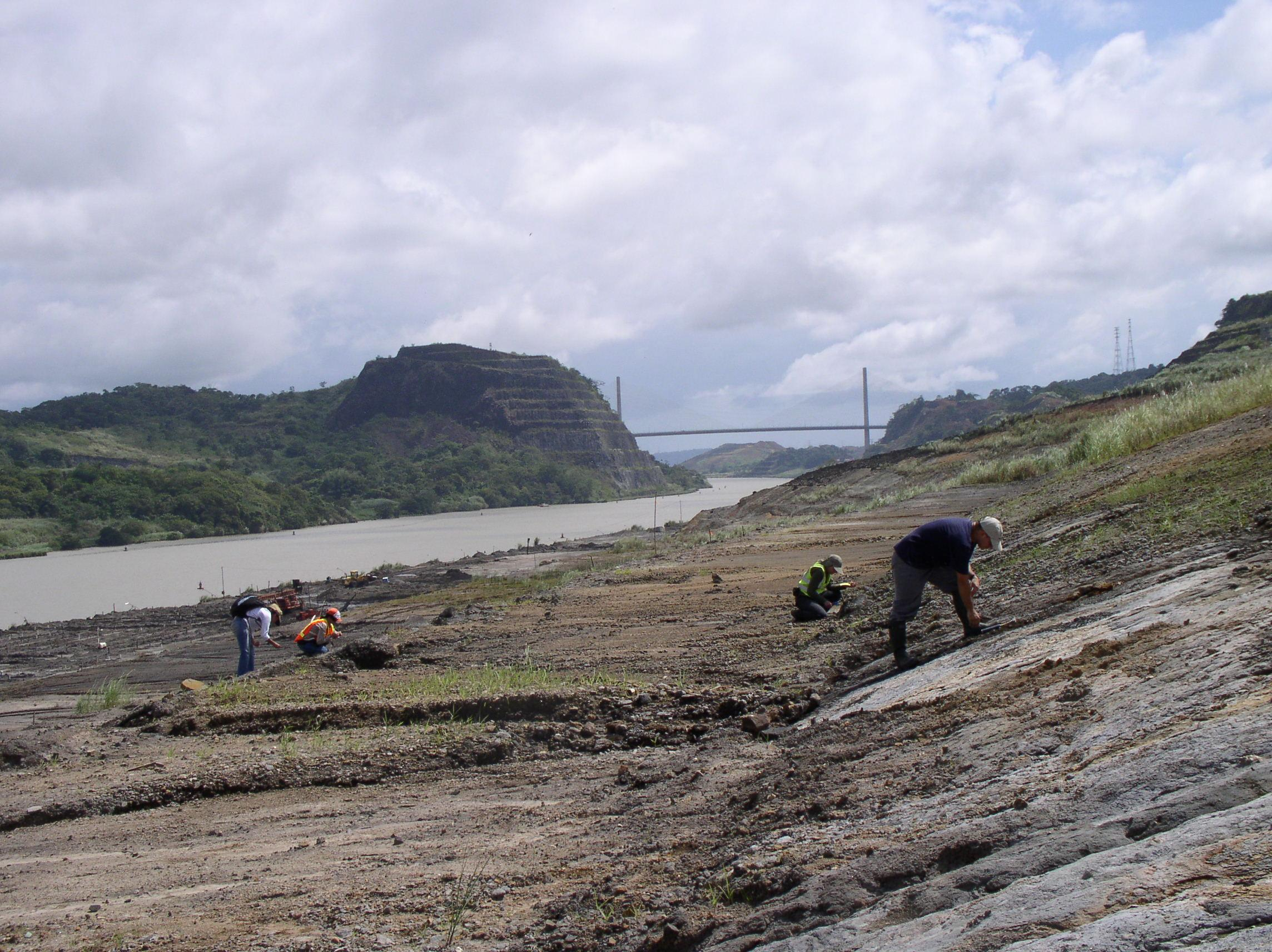 Scientists are excavating fossils on each side of the Panama Canal before construction crews move in. (Courtesy of STRI.)