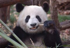 A Chengdu panda (courtesy of flickr user dominiqueb)