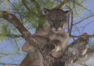 A male Florida panther looks down from a tree (Image courtesy of Larry W. Richardson)