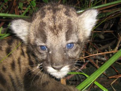 A three-week-old Florida panther kitten (image copyright Science/AAAS)