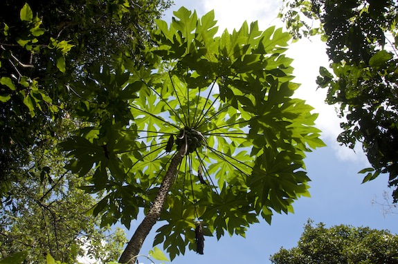 Guam Papaya Tree