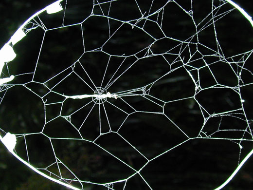 A web spun by a spider with a parasitic larva. The web protects the cocoon of the larva (which can be seen in the center of the web) as it matures into a wasp. (Courtesy of William Eberhard)
