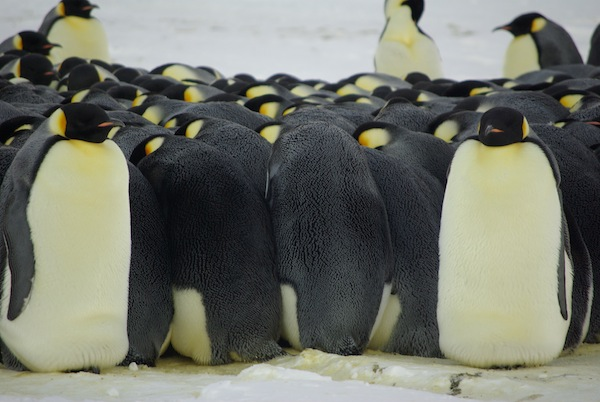 How do emperor penguins survive in the cold