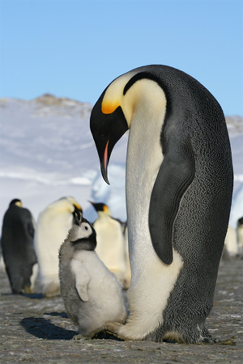 Emperor penguins (courtesy of Samuel Blanc)