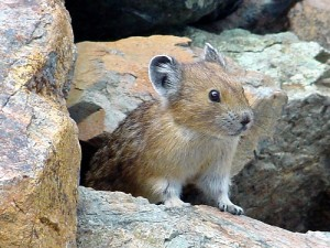 Could the pika be wiped out by climate change? (image courtesy of flickr user mahalie)