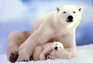 Climate change and polar bears don't mix well (courtesy of flickr user Just Being Myself)