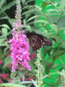 Purple loosestrife was brought to the U.S. in the 1800s as an ornamental plant, but it has taken over many wetlands. (Courtesy of flickr user poppy2323)