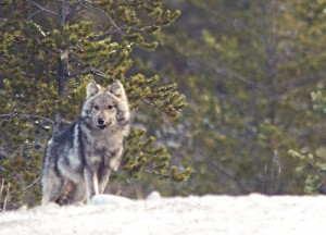 A wolf in Quebec (courtesy of flickr user peupleloup)