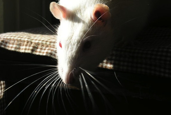 why rodents can't throw up, in case you were wondering | smart news