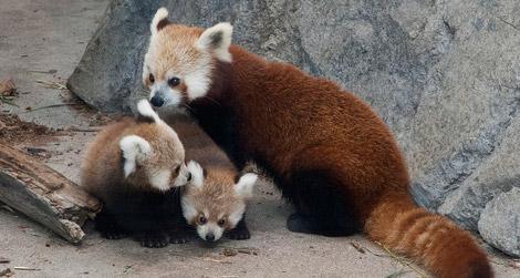 alohamrsfischer / Red Panda Rescue Center