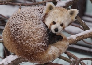 A red panda peeks out from snow-covered fur.
