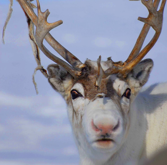 The Scientific Reason Why Reindeer Have Red Noses Science