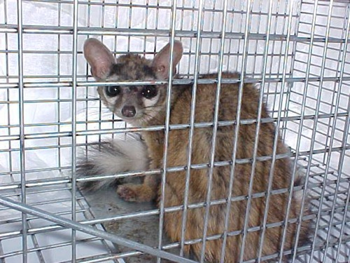 ringtail3