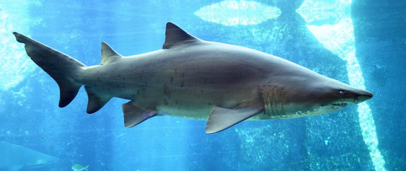 sand tiger shark devou...