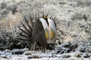 greater sage grouse (courtesy of flickr user NDomer73)