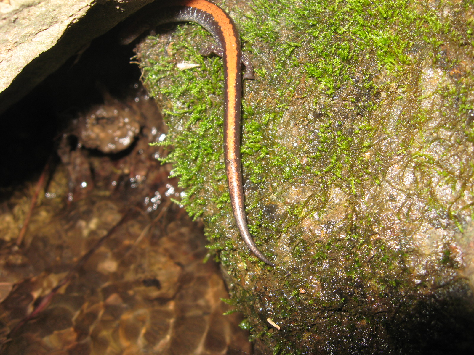 What kind of salamander is hiding under this rock?