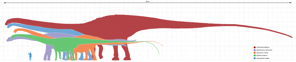 Size of some of the largest sauropods compared. Red - Amphicoelias; Purple - Argentinosaurus; Orange - Supersaurus; Green - Diplodocus hallorum; Blue - Sauroposeidon. From Wikipedia.