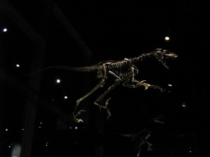 "The skeleton of Saurornitholestes, a ""raptor"" dinosaur. From Flickr user Traumador."