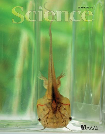 A late-stage tadpole of Xenopus tropicalis on the cover of today's Science (credit: Siwei Zhang, Jingjing Li, Enrique Amaya)