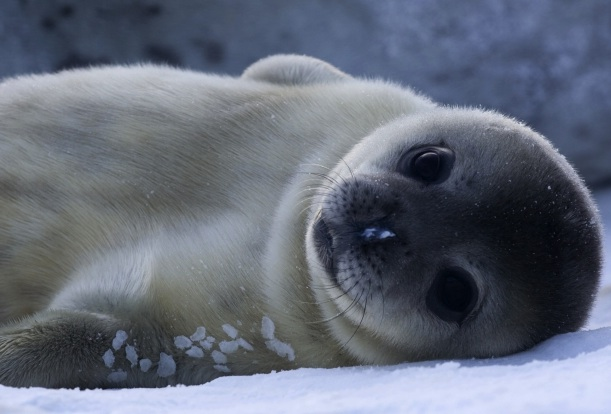 Baby Weddell Seals Have the Most Adult-Like Brains in the ...