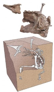 The recovered bones of Seitaad (top) and a restoration of how they were articulated when found in the ground (bottom). From the PLoS One paper.