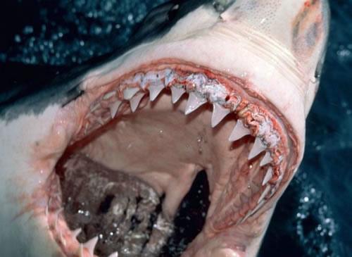 Shark Teeth Have Built-in Toothpaste   Smart News   Smithsonian