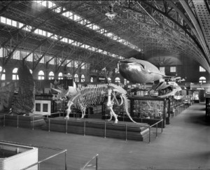 Triceratops on display at the Louisiana Purchase Exhibition. From the Smithsonian Photography Initiative.