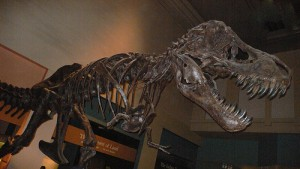 The skeleton of Tyrannosaurus on display at the Smithsonian National Museum of Natural History. From Flickr user Metal Chris.