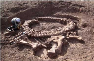 The skeleton of Spinophorosaurus during excavation. From PLoS One.