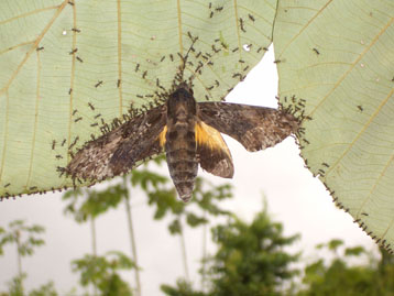 Aztec ants pin a sphingid moth to a leaf (credit: ECOFOG/PLoS ONE)