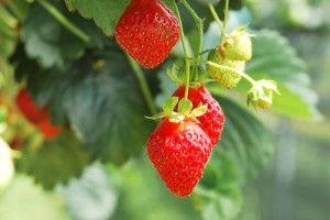 A priceless collection of fruit biodiversity, containing nearly a thousand varieties of strawberries alone, could soon be lost (courtesy of flickr user Limerick6)