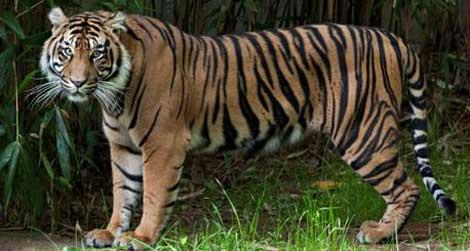 Sumatran Tiger Damai