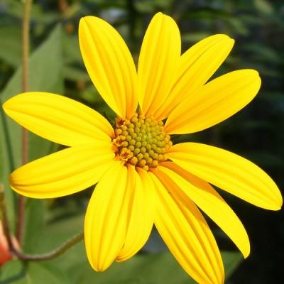 Helianthus flower, courtesy Flickr user renoir_girl